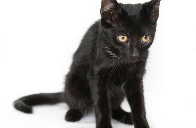 zakaźne zapalenie otrzewnej u kota